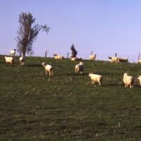 Sheep along the Ridge c1978